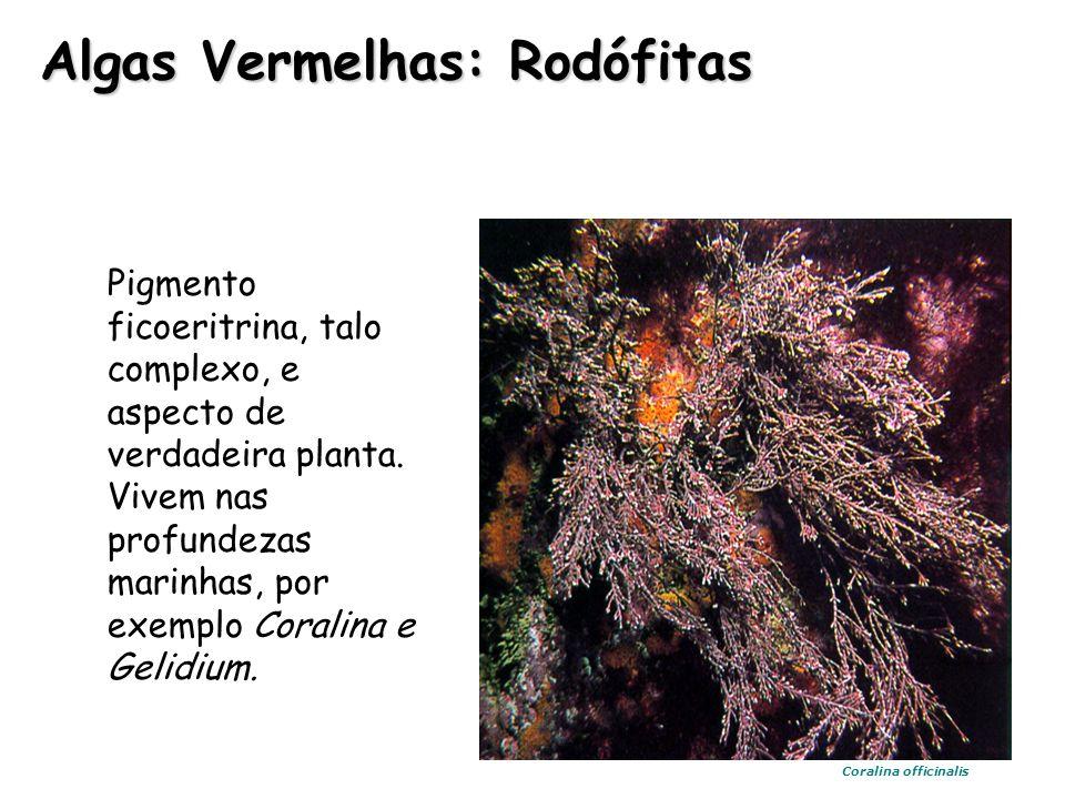 Pigmento ficoeritrina, talo complexo, e aspecto de verdadeira planta. Vivem nas profundezas marinhas, por exemplo Coralina e Gelidium. Algas Vermelhas