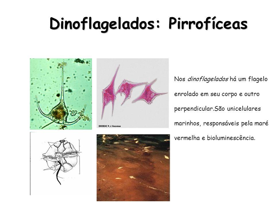 Dinoflagelados: Pirrofíceas Dinoflagelados: Pirrofíceas Nos dinoflagelados há um flagelo enrolado em seu corpo e outro perpendicular.São unicelulares