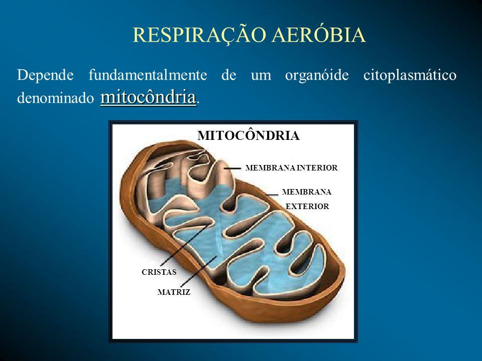 RESPIRAÇÃO AERÓBIA mitocôndria Depende fundamentalmente de um organóide citoplasmático denominado mitocôndria. MITOCÔNDRIA CRISTAS MATRIZ MEMBRANA INT