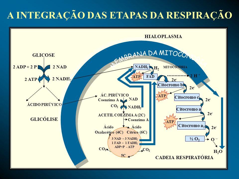 A INTEGRAÇÃO DAS ETAPAS DA RESPIRAÇÃO GLICOSE 2 ADP + 2 P 2 ATP 2 NAD 2 NADH 2 ÁCIDO PIRÚVICO GLICÓLISE NADH 2 FAD Citocromo b Citocromo c Citocromo a