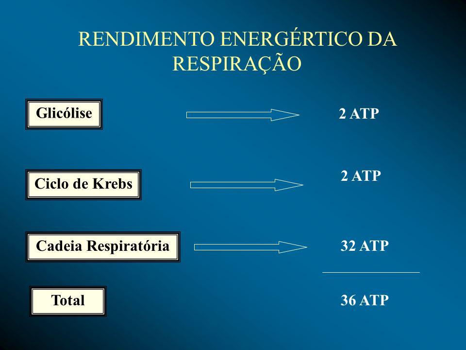 RENDIMENTO ENERGÉRTICO DA RESPIRAÇÃO Glicólise Ciclo de Krebs Cadeia Respiratória Total 2 ATP 32 ATP 36 ATP
