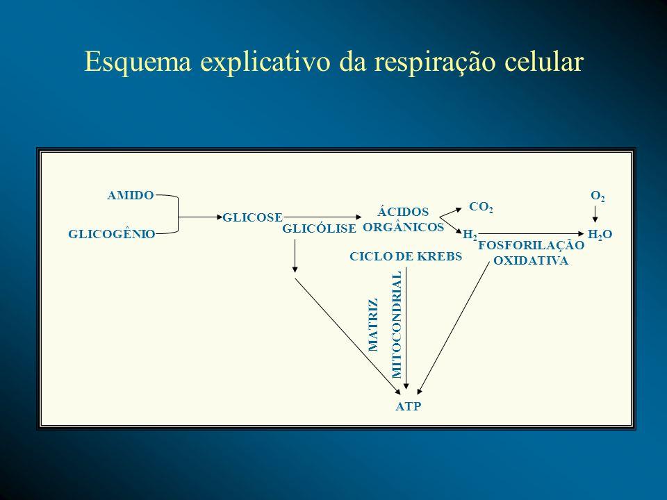 AMIDO GLICOGÊNIO GLICOSE GLICÓLISE ÁCIDOS ORGÂNICOS CO 2 H2H2 H2OH2O O2O2 FOSFORILAÇÃO OXIDATIVA CICLO DE KREBS ATP MATRIZ MITOCONDRIAL Esquema explic
