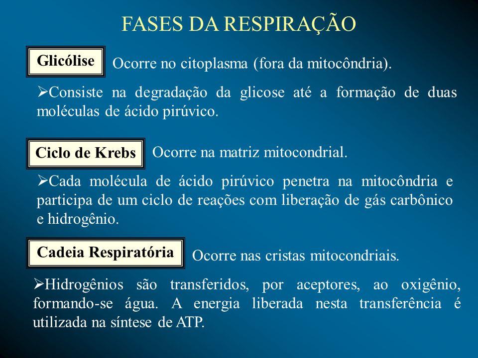 FERMENTAÇAO ACÉTICA É realizada por alguns grupos de bactérias, principalmente as acetobactérias.