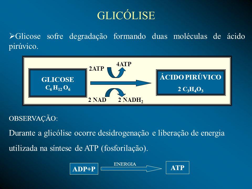 Os ácidos pirúvicos provenientes da glicolise penetram na mitocôndria e sofrem ação de enzimas (descarboxilase e desidrogenase), que retiram hidrogênios e carbono da molécula, produzindo, respectivamente CO 2, NADH 2 e transformando-se em ácido acético (H 3 C - COOH).