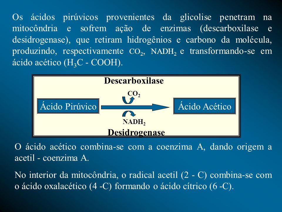 Os ácidos pirúvicos provenientes da glicolise penetram na mitocôndria e sofrem ação de enzimas (descarboxilase e desidrogenase), que retiram hidrogêni