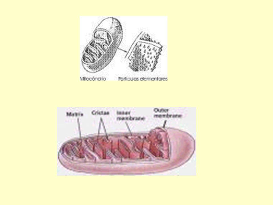ETAPAS GLICÓLISE (CITOSOL) CICLO DE KREBS (MATRIZ MITOCONDRIAL) CADEIA RESPIRATÓRIA (CRISTAS MITOCONDRIAIS)