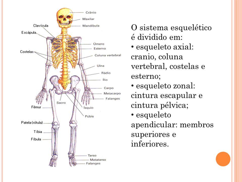 O sistema esquelético é dividido em: esqueleto axial: cranio, coluna vertebral, costelas e esterno; esqueleto zonal: cintura escapular e cintura pélvi