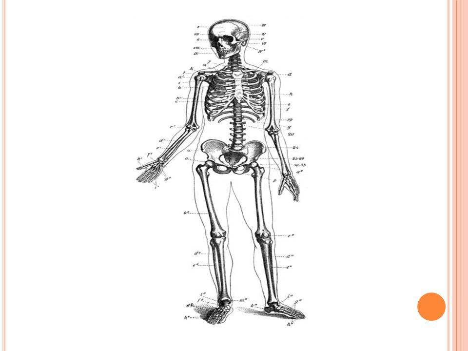 Funções dos ossos: Dar sustentação ao corpo; Promover fixação aos músculos; Proteger órgãos vitais; Produção de células sanguíneas; Armazenamento e distribuição de íons de cálcio e fosfato.