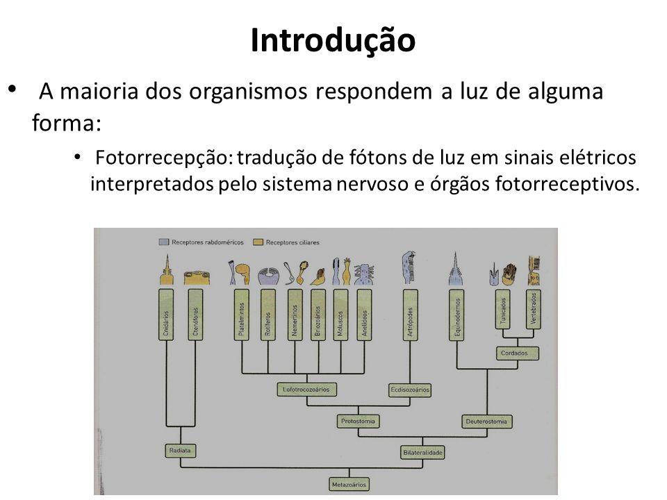 Introdução A maioria dos organismos respondem a luz de alguma forma: Fotorrecepção: tradução de fótons de luz em sinais elétricos interpretados pelo sistema nervoso e órgãos fotorreceptivos.