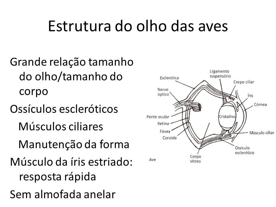 Estrutura do olho das aves Grande relação tamanho do olho/tamanho do corpo Ossículos escleróticos Músculos ciliares Manutenção da forma Músculo da íris estriado: resposta rápida Sem almofada anelar