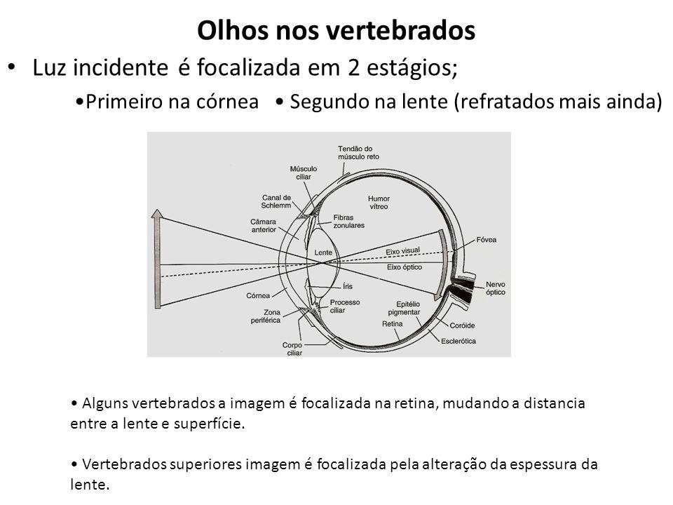 Olhos nos vertebrados Luz incidente é focalizada em 2 estágios; Primeiro na córnea Segundo na lente (refratados mais ainda) Alguns vertebrados a imagem é focalizada na retina, mudando a distancia entre a lente e superfície.