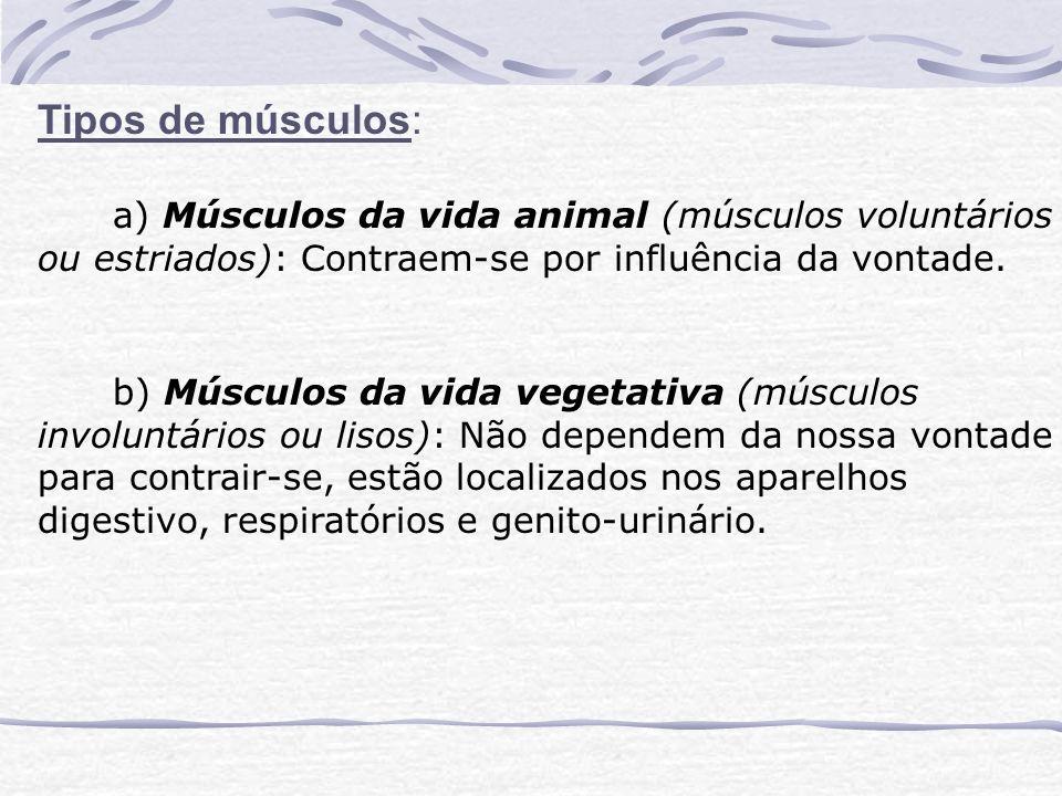 Tipos de músculos: a) Músculos da vida animal (músculos voluntários ou estriados): Contraem-se por influência da vontade.