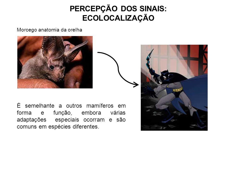 PERCEPÇÃO DOS SINAIS: ECOLOCALIZAÇÃO Morcego anatomia da orelha É semelhante a outros mamíferos em forma e função, embora várias adaptações especiais