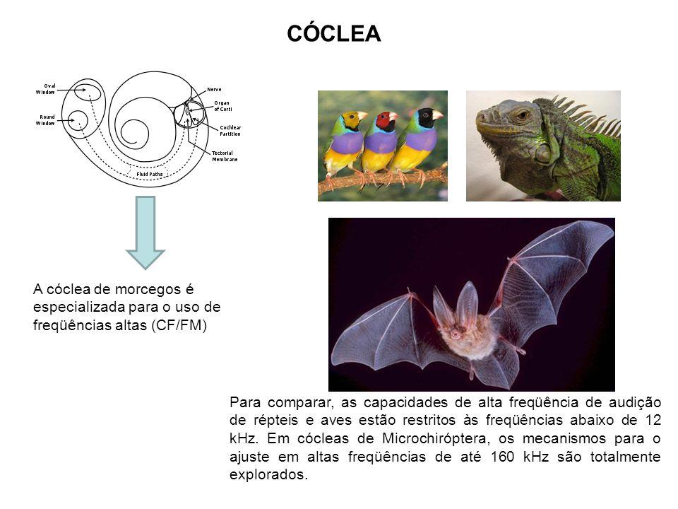 CÓCLEA A cóclea de morcegos é especializada para o uso de freqüências altas (CF/FM) Para comparar, as capacidades de alta freqüência de audição de rép
