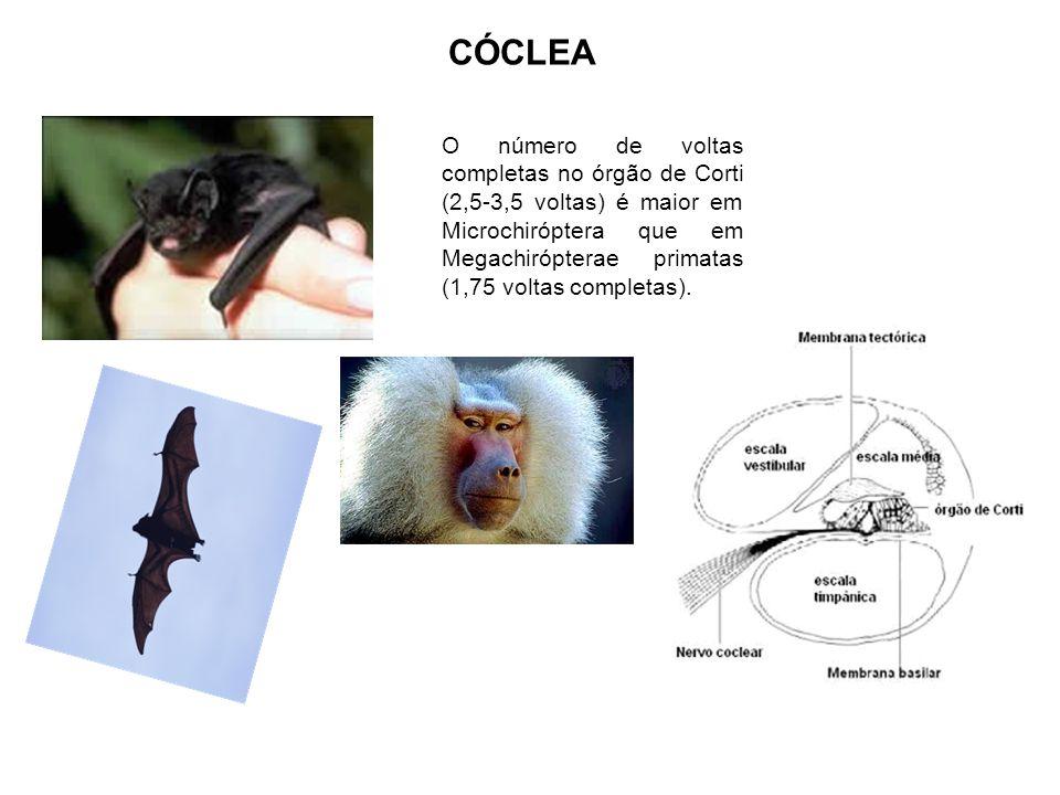CÓCLEA O número de voltas completas no órgão de Corti (2,5-3,5 voltas) é maior em Microchiróptera que em Megachirópterae primatas (1,75 voltas complet
