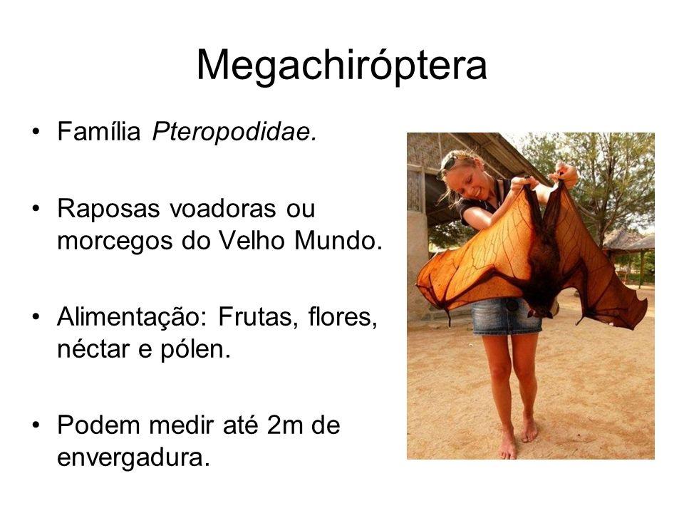 Megachiróptera Família Pteropodidae. Raposas voadoras ou morcegos do Velho Mundo. Alimentação: Frutas, flores, néctar e pólen. Podem medir até 2m de e