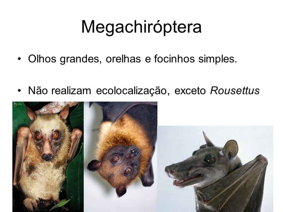 Megachiróptera Olhos grandes, orelhas e focinhos simples. Não realizam ecolocalização, exceto Rousettus