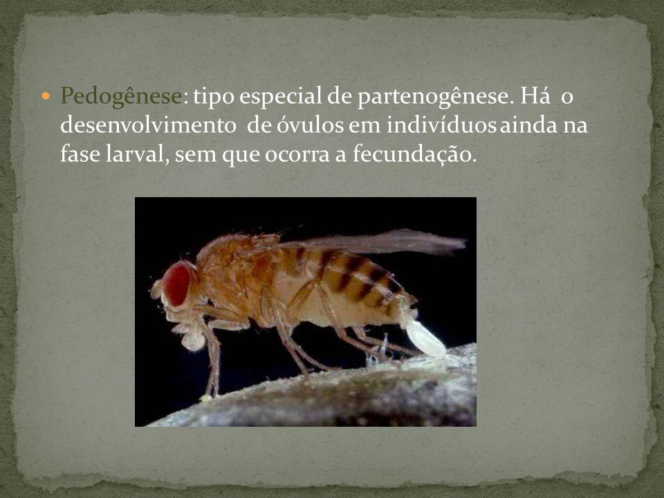 Pedogênese: tipo especial de partenogênese. Há o desenvolvimento de óvulos em indivíduos ainda na fase larval, sem que ocorra a fecundação.