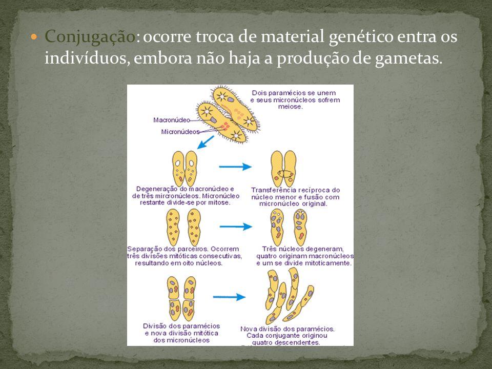 Conjugação: ocorre troca de material genético entra os indivíduos, embora não haja a produção de gametas.