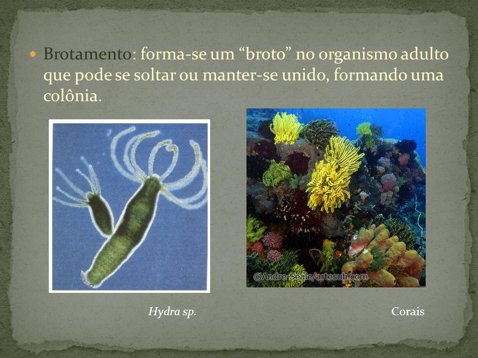 Brotamento: forma-se um broto no organismo adulto que pode se soltar ou manter-se unido, formando uma colônia. Hydra sp.Corais