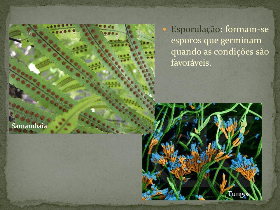 Esporulação: formam-se esporos que germinam quando as condições são favoráveis. Samambaia Fungos