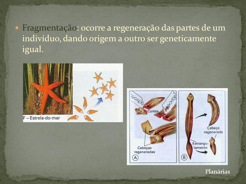 Fragmentação: ocorre a regeneração das partes de um indivíduo, dando origem a outro ser geneticamente igual. Planárias