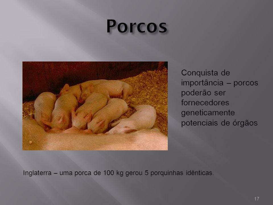 Inglaterra – uma porca de 100 kg gerou 5 porquinhas idênticas. Conquista de importância – porcos poderão ser fornecedores geneticamente potenciais de
