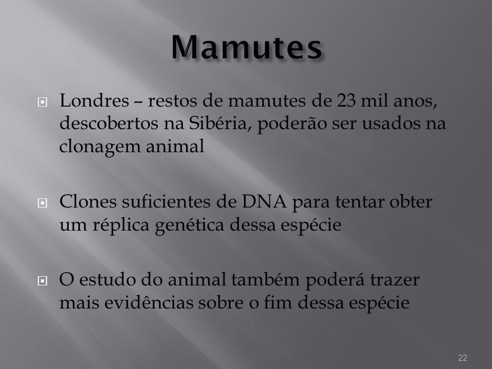 Londres – restos de mamutes de 23 mil anos, descobertos na Sibéria, poderão ser usados na clonagem animal Clones suficientes de DNA para tentar obter