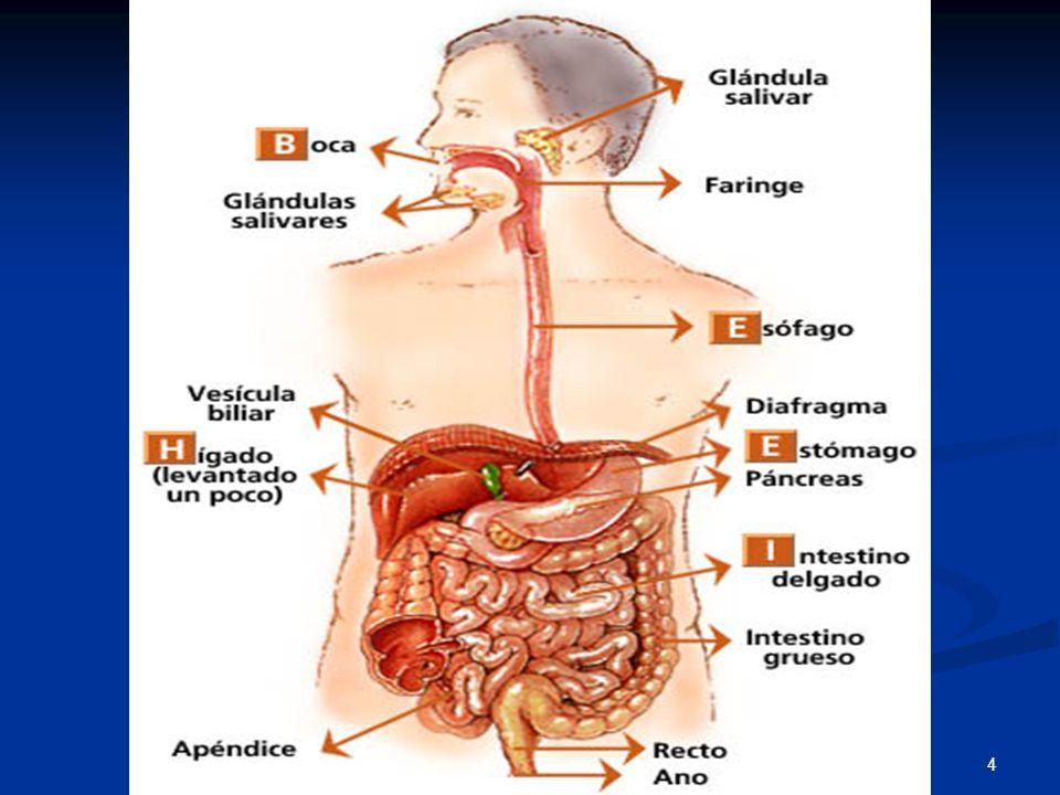 Famoso Anatomía Del Estómago Y Los Intestinos Molde - Anatomía de ...