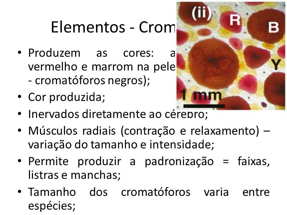 Elementos - Cromatóforos Produzem as cores: amarelo, laranja, vermelho e marrom na pele (Octopus vulgaris - cromatóforos negros); Cor produzida; Inerv