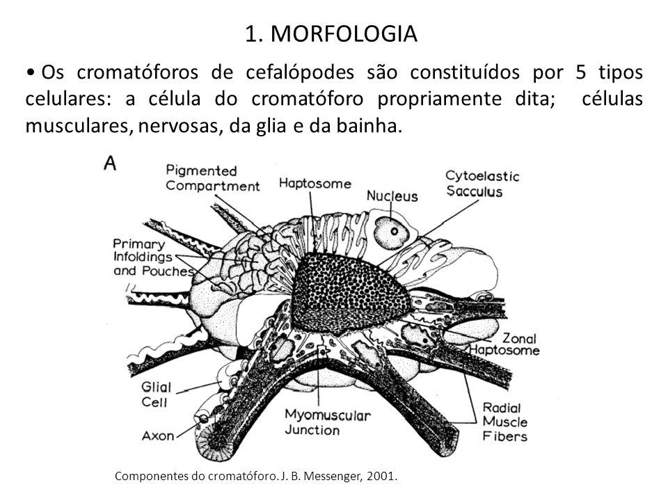 Os cromatóforos de cefalópodes são constituídos por 5 tipos celulares: a célula do cromatóforo propriamente dita; células musculares, nervosas, da gli