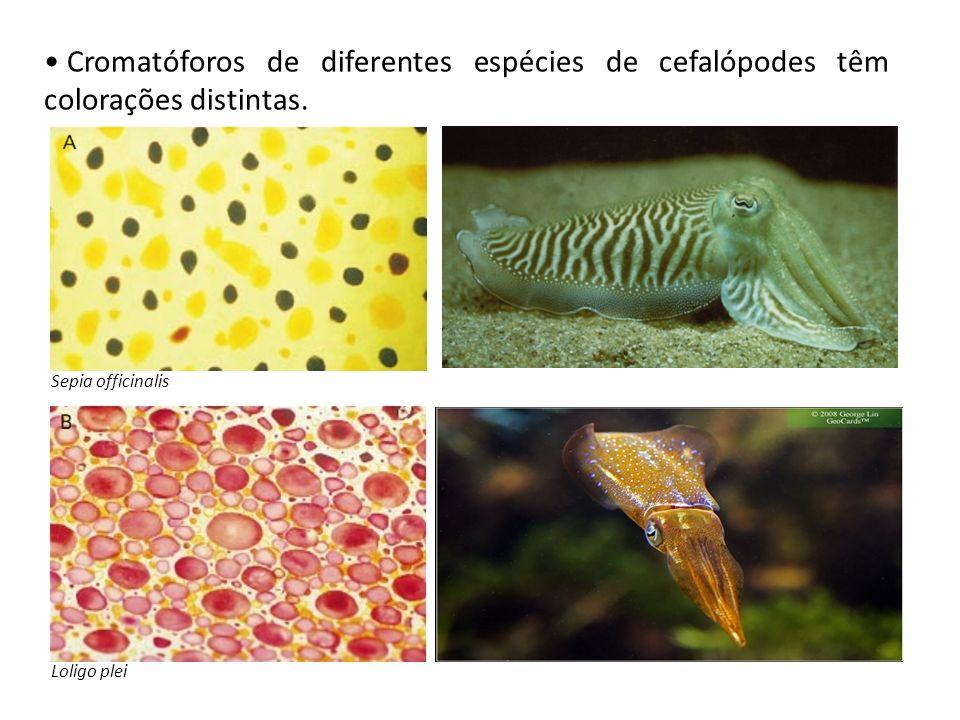 Cromatóforos de diferentes espécies de cefalópodes têm colorações distintas. Sepia officinalis Loligo plei