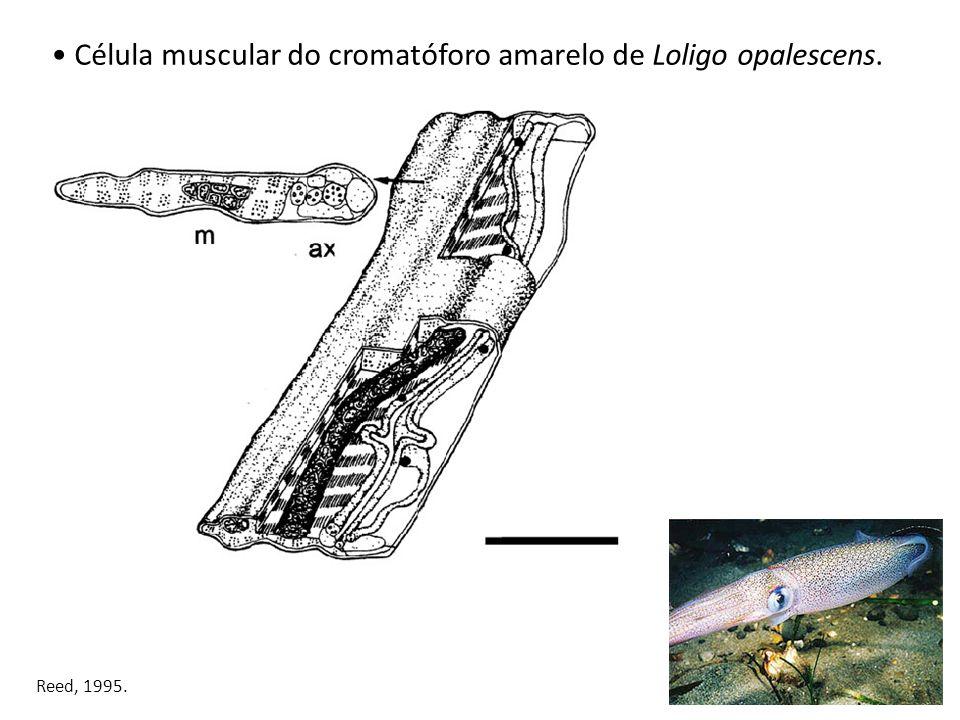 Célula muscular do cromatóforo amarelo de Loligo opalescens. Reed, 1995.