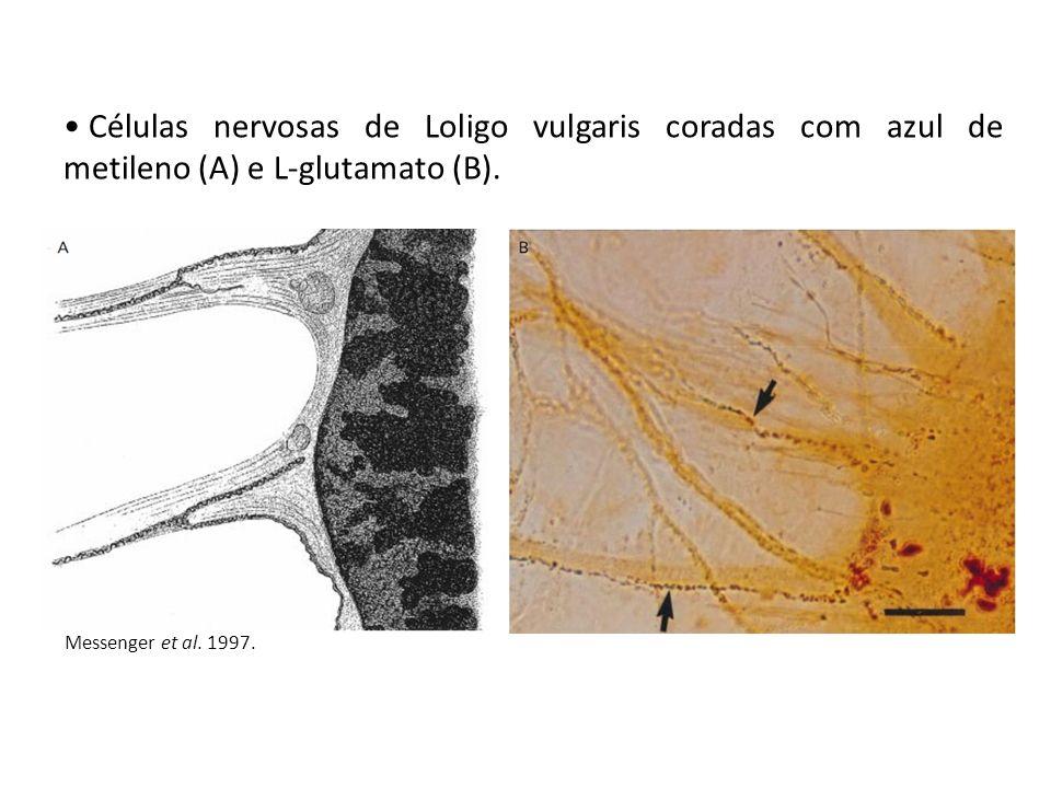 Células nervosas de Loligo vulgaris coradas com azul de metileno (A) e L-glutamato (B). Messenger et al. 1997.