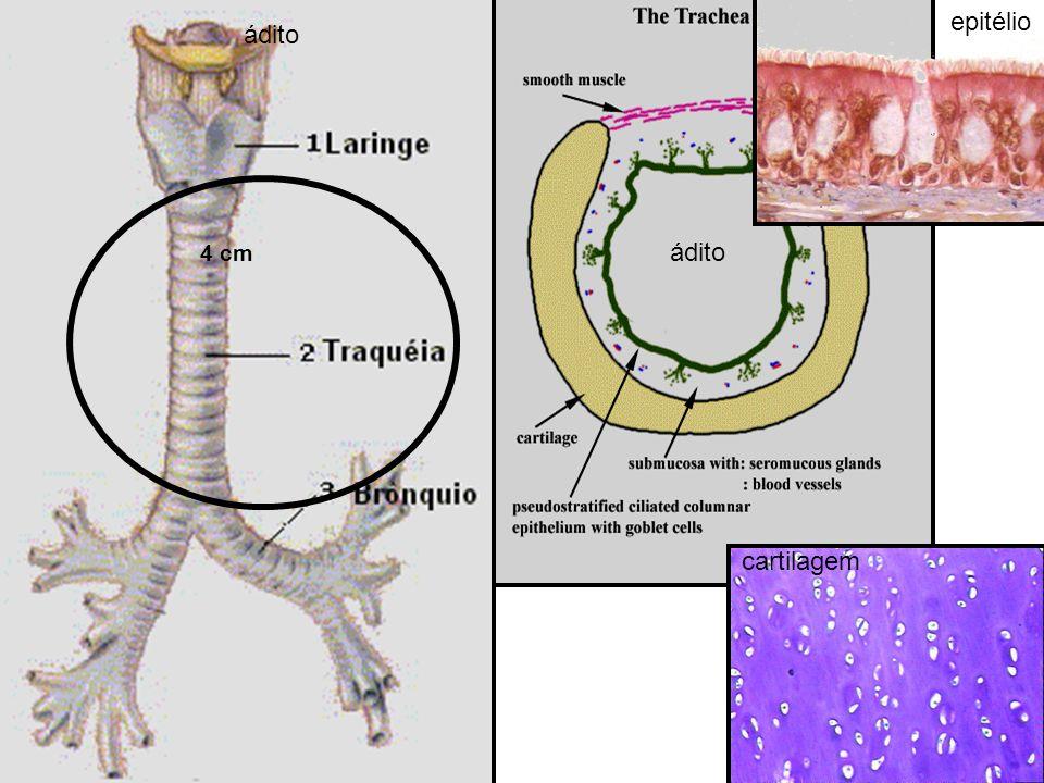 epitélio cartilagem 4 cm ádito