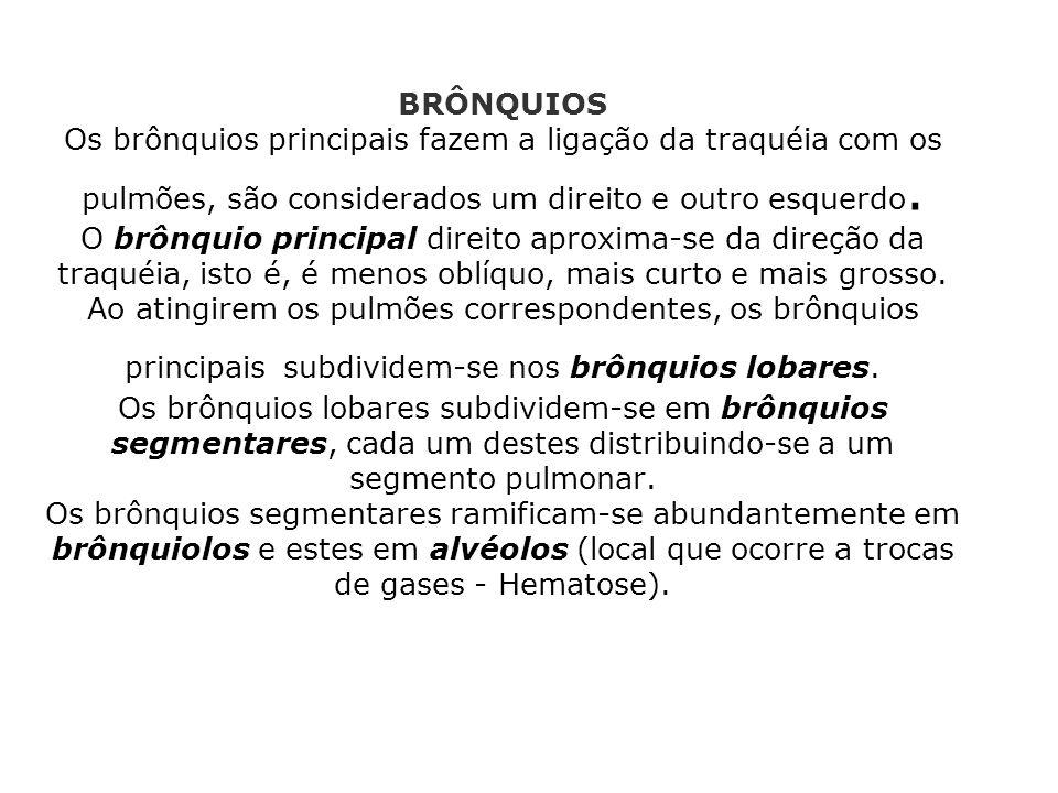 BRÔNQUIOS Os brônquios principais fazem a ligação da traquéia com os pulmões, são considerados um direito e outro esquerdo. O brônquio principal direi