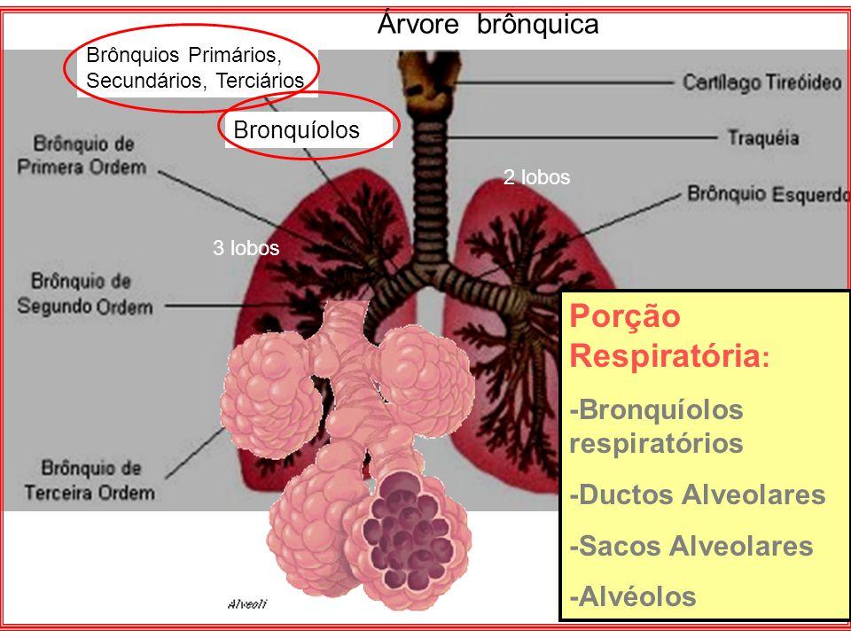 Porção Respiratória : -Bronquíolos respiratórios -Ductos Alveolares -Sacos Alveolares -Alvéolos Brônquios Primários, Secundários, Terciários Bronquíol