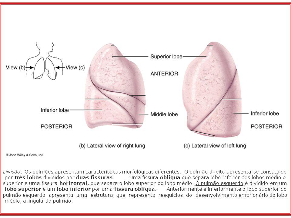 Divisão: Os pulmões apresentam características morfológicas diferentes. O pulmão direito apresenta-se constituído por três lobos divididos por duas fi