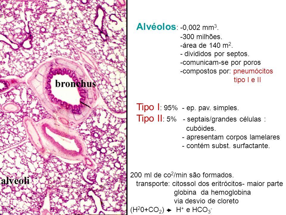 Alvéolos : -0,002 mm 3. -300 milhões. -área de 140 m 2. - divididos por septos. -comunicam-se por poros -compostos por: pneumócitos tipo I e II Tipo I