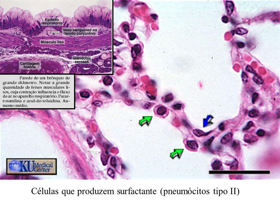 Células que produzem surfactante (pneumócitos tipo II)
