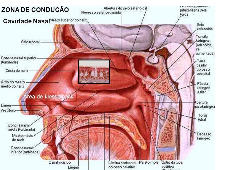 Os pulmões são duas vísceras situadas uma de cada lado, no interior do tórax e onde se dá o encontro do ar atmosférico com o sangue circulante, ocorrendo então, as trocas gasosas (HEMATOSE).