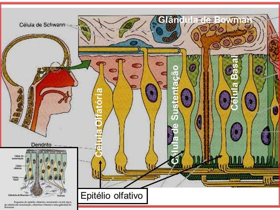 Divisão: Os pulmões apresentam características morfológicas diferentes.
