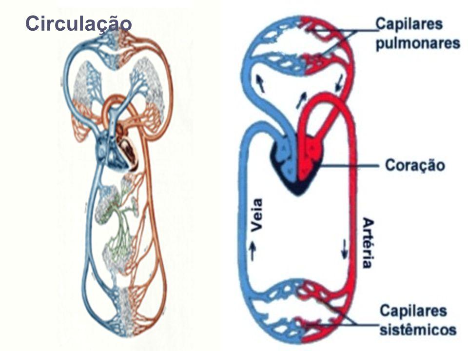 Circuito do sangue Circuito pequeno ou pulmonar: Ventrículo direito, artéria pulmonar, pulmões, veia pulmonar e átrio esquerdo Circuito grande ou sistêmico: Ventrículo esquerdo, artéria aorta, todo o corpo, veias cava (superior e inferior) e átrio direito
