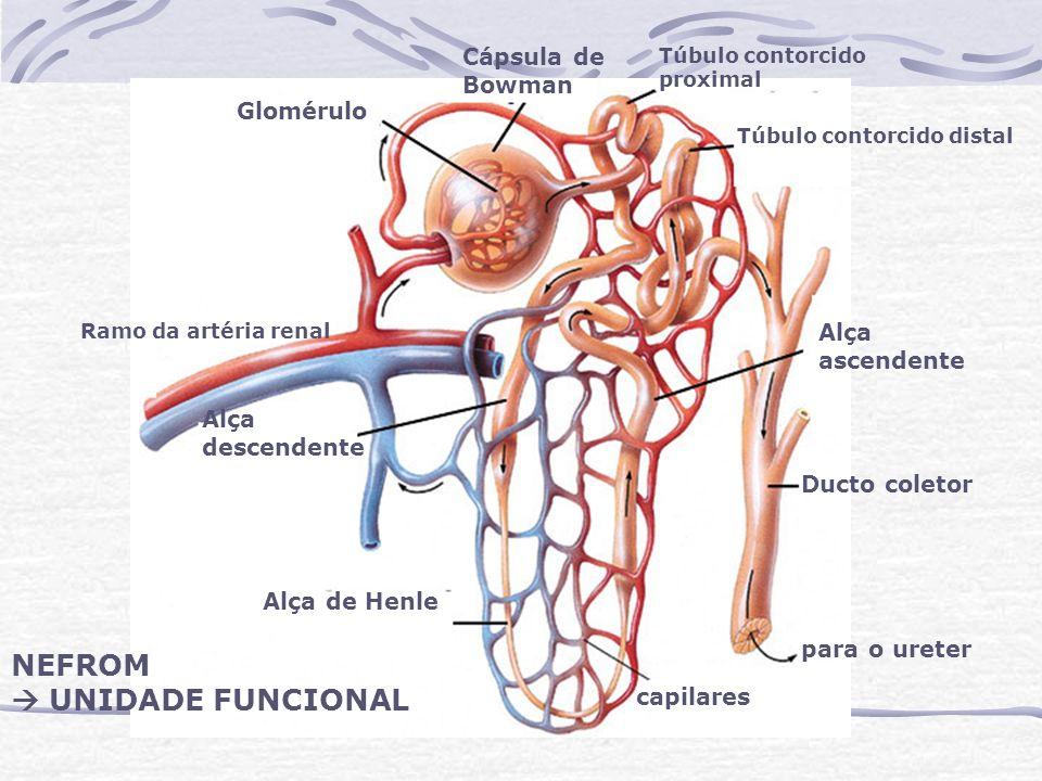 Cápsula de Bowman Glomérulo Alça descendente Alça ascendente Alça de Henle Ducto coletor capilares para o ureter NEFROM UNIDADE FUNCIONAL Túbulo conto