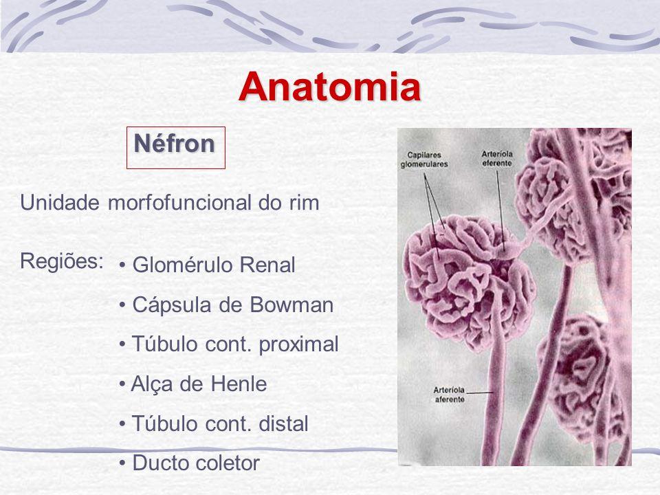 Anatomia Néfron Unidade morfofuncional do rim Regiões: Glomérulo Renal Cápsula de Bowman Túbulo cont. proximal Alça de Henle Túbulo cont. distal Ducto
