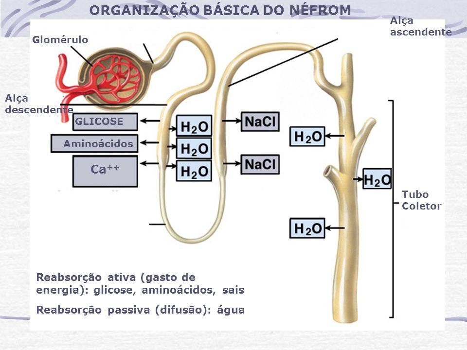 Glomérulo Alça descendente GLICOSE Aminoácidos Ca ++ Tubo Coletor Reabsorção ativa (gasto de energia): glicose, aminoácidos, sais Reabsorção passiva (