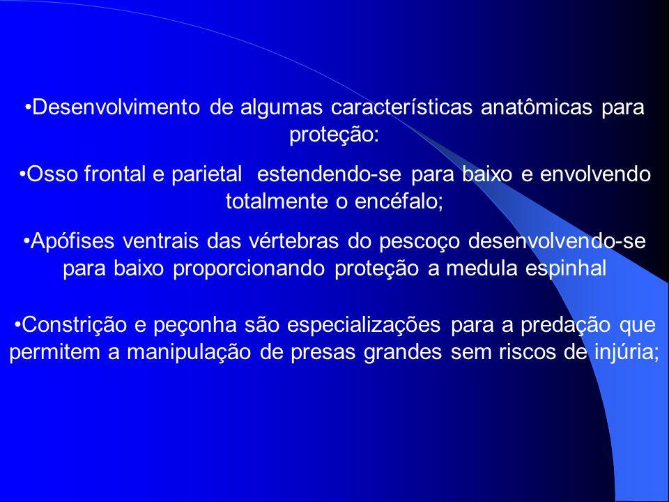 Desenvolvimento de algumas características anatômicas para proteção: Osso frontal e parietal estendendo-se para baixo e envolvendo totalmente o encéfa