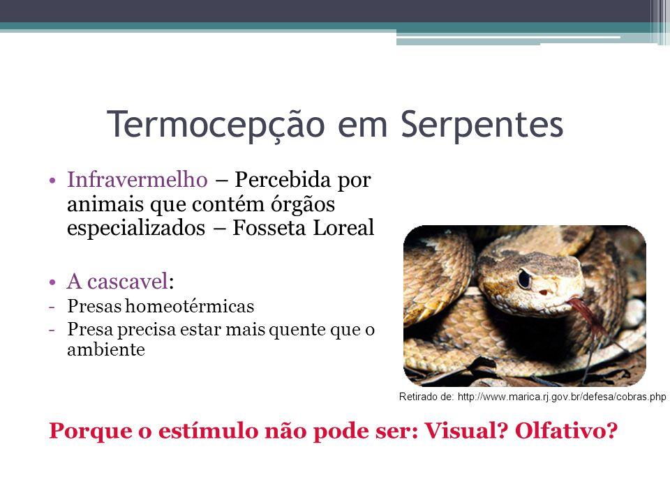 Termocepção em Serpentes Infravermelho – Percebida por animais que contém órgãos especializados – Fosseta Loreal A cascavel: -Presas homeotérmicas -Pr
