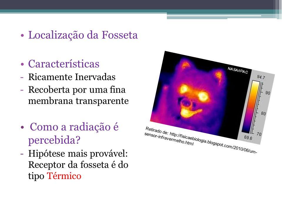 Localização da Fosseta Características -Ricamente Inervadas -Recoberta por uma fina membrana transparente Como a radiação é percebida? - Hipótese mais