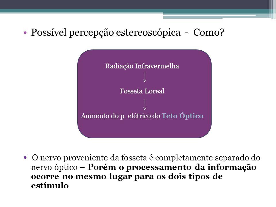 Possível percepção estereoscópica - Como? O nervo proveniente da fosseta é completamente separado do nervo óptico – Porém o processamento da informaçã